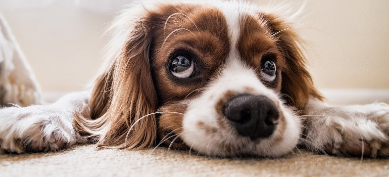 sad dog as a part of pet adjust to your new home guide